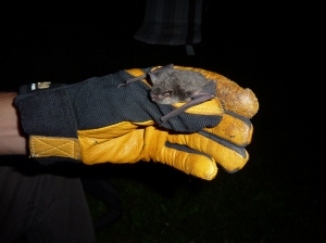 A scientist handles a Gray bat captured near Kentucky's Green River.