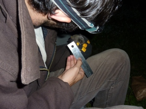 Measuring a bat captured for study near Kentucky's Green River.