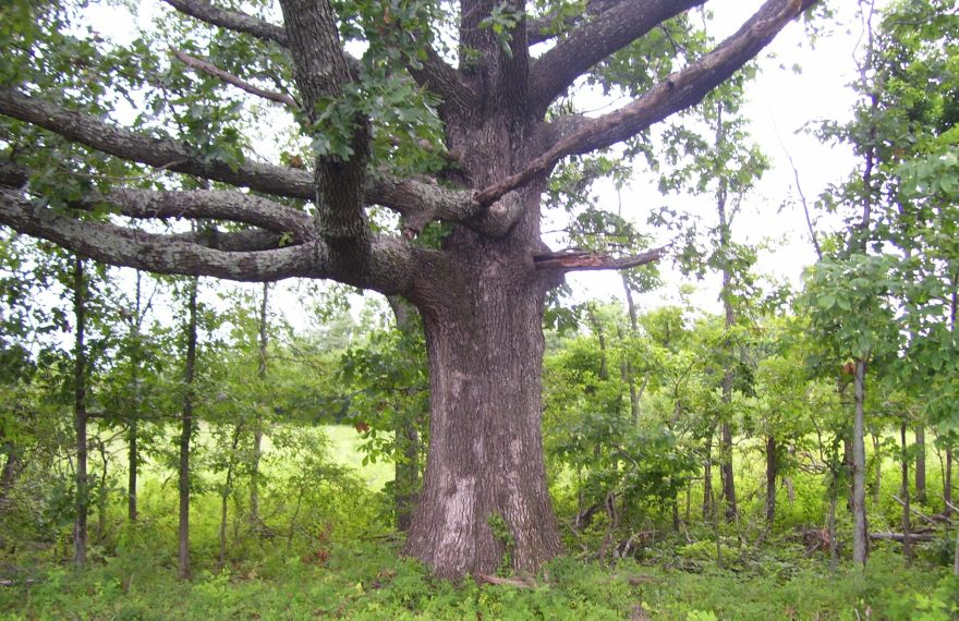 Witness Tree at The Nature Conservancy's Mantle Rock Nature Preserve in Kentucky