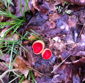 Red Cup Fungus at the Sally Brown Nature Preserve © TNC Staff