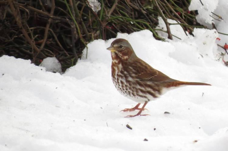 Fox Sparrow (Fyn Kynd Photography-Creative Commons)