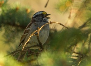 White Throated Sparrow (c) Jeff Sole