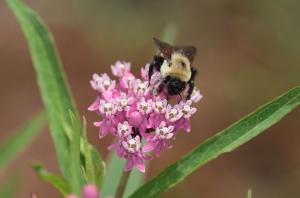 Bumblebee on Milkweed (John Flannery-Creative Commons)