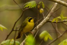 Kentucky Warbler ©Jeff Sole