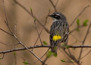 Yellow-rumped Warbler ©Jeff Sole