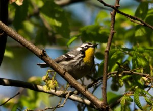 Yellow-throated Warbler ©Jeff Sole